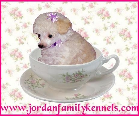 Toy Poodle, 8 weeks, Cream, Tiny Teacup Poodle pup from us here at Jordan Family Kennels.